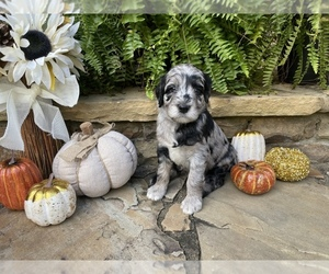 Goldendoodle Puppy for Sale in CUMMING, Georgia USA