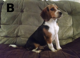 Beagle Puppy for sale in LIBERTY, KY, USA