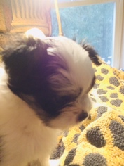 Shih Tzu Puppy For Sale in LEBANON, OR, USA