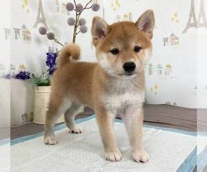 Shiba Inu Dog for Adoption in BOSTON, Massachusetts USA