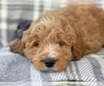 Small #12 Labradoodle