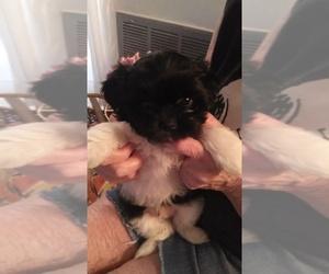 Shih Tzu Puppy for sale in SPRING HILL, FL, USA