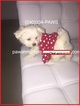 Maltese Puppy For Sale in ANNAPOLIS, MD, USA