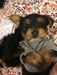 Yorkshire Terrier Puppy For Sale in POMONA, CA, USA