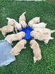 Golden Retriever Puppy For Sale near 74055, Owasso, OK, USA