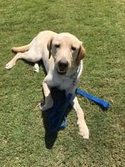 Labrador Retriever Puppy for sale in CAMARILLO, CA, USA