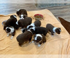 Miniature Australian Shepherd Puppy for Sale in TERRELL, Texas USA
