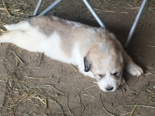 Great Pyrenees Puppy For Sale in SIDNEY, OH, USA