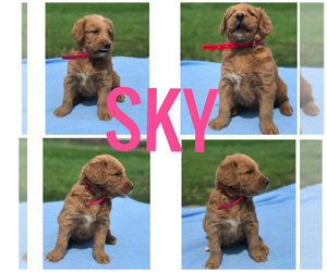 Labradoodle Puppy for Sale in BOWLING GREEN, Kentucky USA