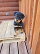Rottweiler Puppy For Sale in MORGANTOWN, Pennsylvania,