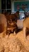 Chihuahua Puppy For Sale in APPLE VALLEY, CA