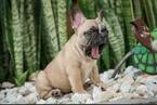 French Bulldog Puppy For Sale in CUTLER BAY, FL, USA