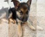 Small Alaskan Malamute-German Shepherd Dog Mix