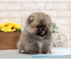 Pomeranian Puppy for sale in MIAMI, FL, USA