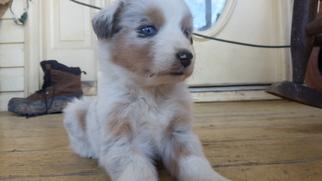 Australian Shepherd Puppy For Sale in HIGH POINT, NC