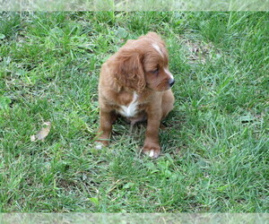 Medium Cavalier King Charles Spaniel-Poodle (Standard) Mix