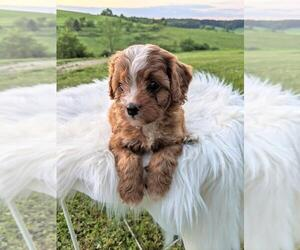 Cavapoo Puppy for sale in FREDERICKSBG, OH, USA