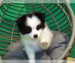 Puppy 3 Maltipom