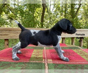 German Shorthaired Pointer Puppy for sale in DELANO, MN, USA