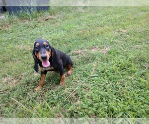 Black and Tan Coonhound Puppy for Sale in EWING, Illinois USA