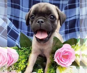 Pug Dog for Adoption in CALLAO, Virginia USA