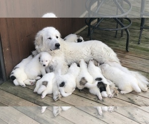 Mother of the Great Pyrenees puppies born on 03/07/2019