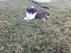 Pekingese Puppy For Sale in FORNEY, TX, USA