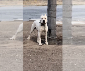 Father of the Dogo Argentino puppies born on 04/18/2020