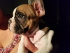 French Bulldog Puppy For Sale in LEAGUE CITY, TX,