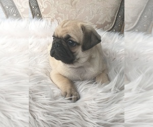 Pug Puppy for sale in PERRIS, CA, USA
