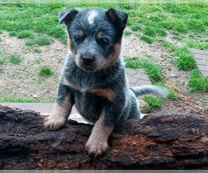 Australian Stumpy Tail Cattle Dog Puppy for sale in CHAPMANSBORO, TN, USA