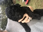 Poodle (Standard) Puppy For Sale in BIRMINGHAM, AL,