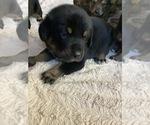 Puppy 7 German Shepherd Dog-Greater Swiss Mountain Dog Mix