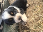 Australian Shepherd Puppy For Sale in MONTCLAIR, California,