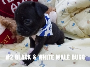 Buggs Puppy For Sale in HARLINGEN, TX, USA
