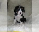 Puppy 4 Australian Shepherd-Cavalier King Charles Spaniel Mix