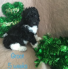 Poodle (Standard) Puppy For Sale in RANDLEMAN, NC
