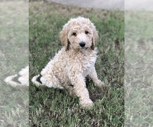 Goldendoodle Puppy for sale in AZLE, TX, USA