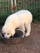 Great Pyrenees Puppy For Sale in WEST MONROE, LA
