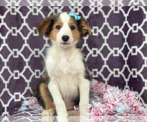 Shetland Sheepdog Puppy for sale in LAKELAND, FL, USA
