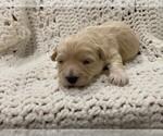Puppy 1 Havachon
