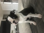 Boston Terrier Puppy For Sale in CHARLOTTE, NC, USA