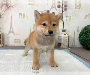 Shiba Inu Puppy for Sale in NEW YORK, New York USA