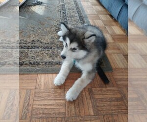Alaskan Malamute Puppy for Sale in HILTON, New York USA