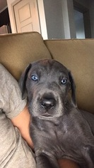 Puppyfinder com: Great Dane puppies puppies for sale near me