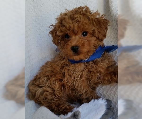 Puppyfindercom View Ad Photo 4 Of Listing Poodle Toy