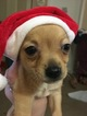 Chihuahua Puppy For Sale in KEARNEYSVILLE, WV, USA