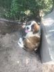 Saint Bernard Puppy For Sale in RUSHVILLE, IN, USA