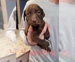 Puppy 1 Labrador Retriever