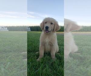 Golden Retriever Puppy for Sale in BATESVILLE, Indiana USA